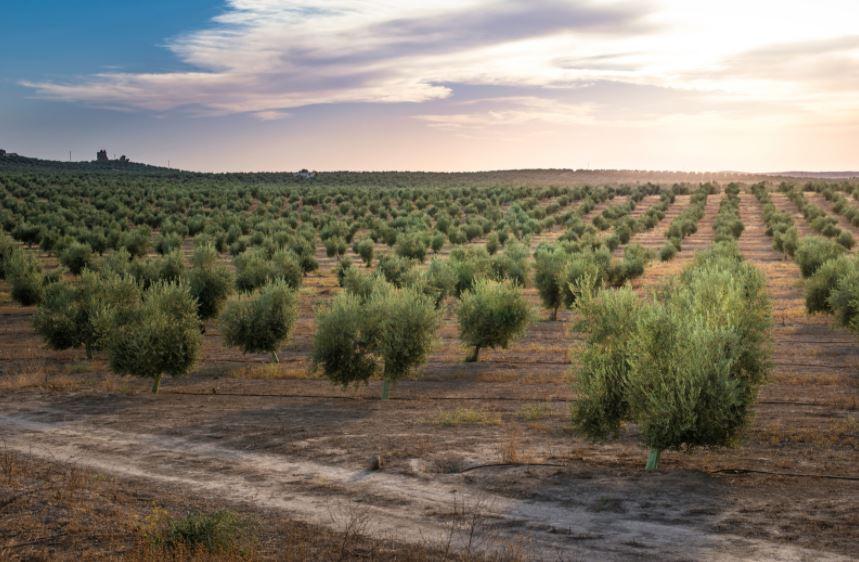 Le tante sfumature dell'olio extravergine fruttato