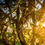 Perché l'olio extravergine biologico ci migliora la vita
